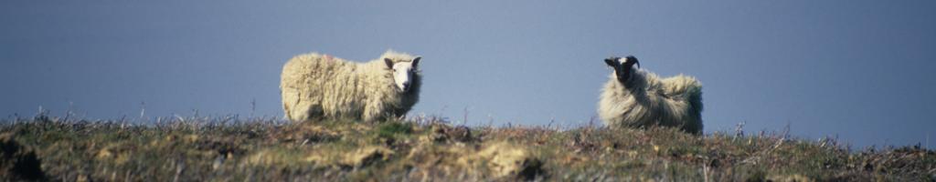 Sheep waiting for Glen More 2: Chronicles